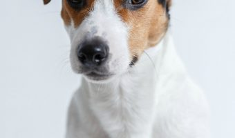 are jack russell terrier hypoallergenic dogs?