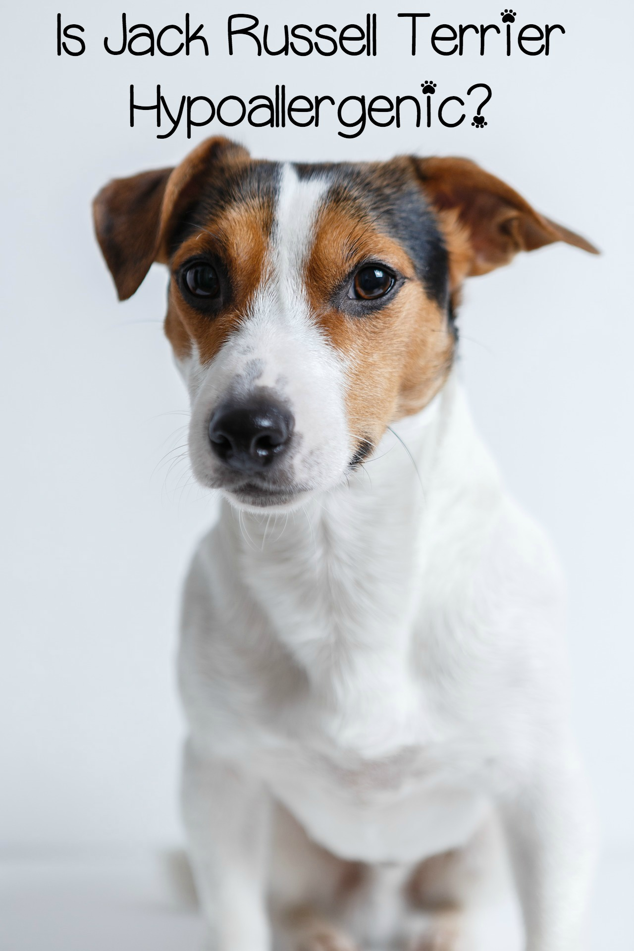Is the Jack Russell Terrier Hypoallergenic (Maybe, Maybe Not, It Depends on You)