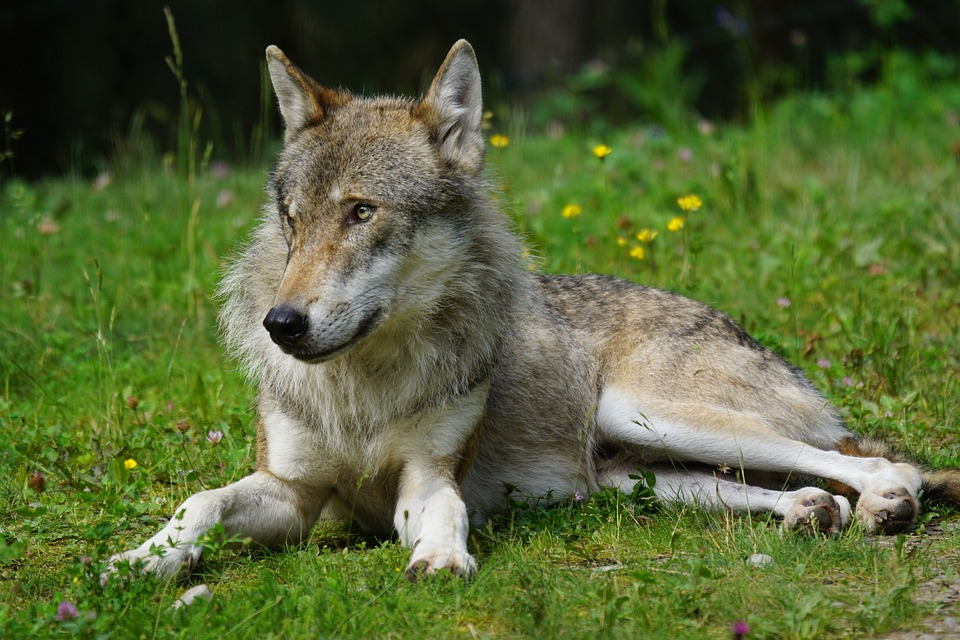 Dogs That Look Like Wolves Names