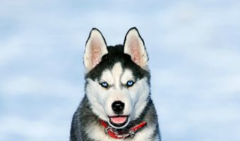 Dog Breed that Looks Like a Small Husky (Weird, But True)