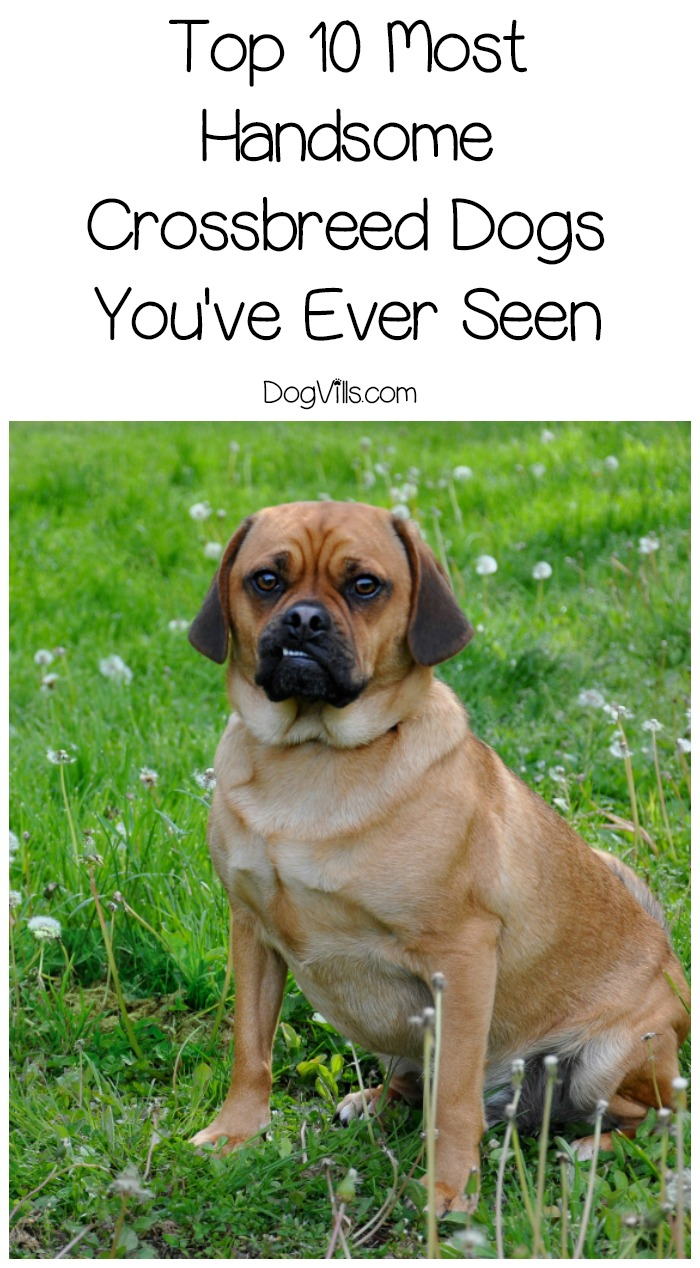 Top 10 Most Handsome Crossbreed Dogs You've Ever Seen