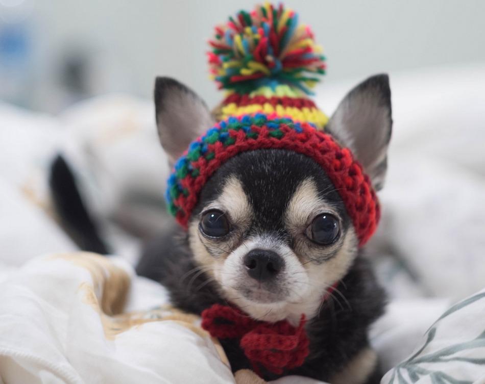 тебя шапки для чихуахуа фото одноглазик