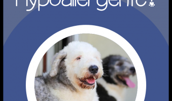 Are Old English Sheepdogs Hypoallergenic? We'll give you that answer, as well as everything you need to know about OES temperament, health, and care! Let's check it out!