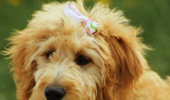 Are Goldendoodles Hypoallergenic? (Your Definitive Guide)