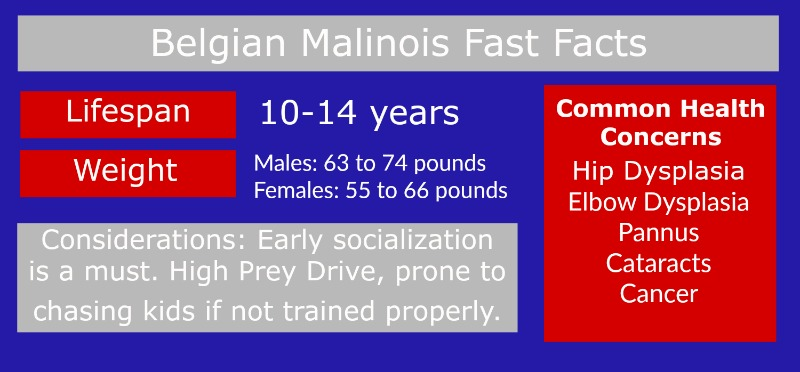 The Belgian Malinois at a Glance