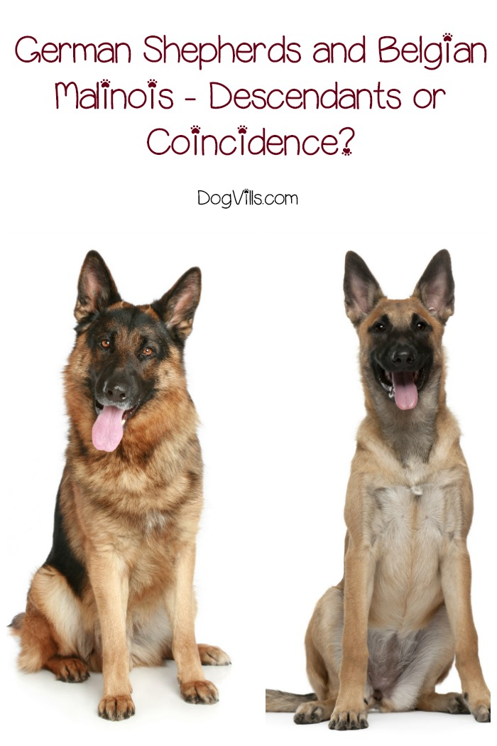 german shepherd belgian malinois german shepherds and belgian malinois descendants or 4420