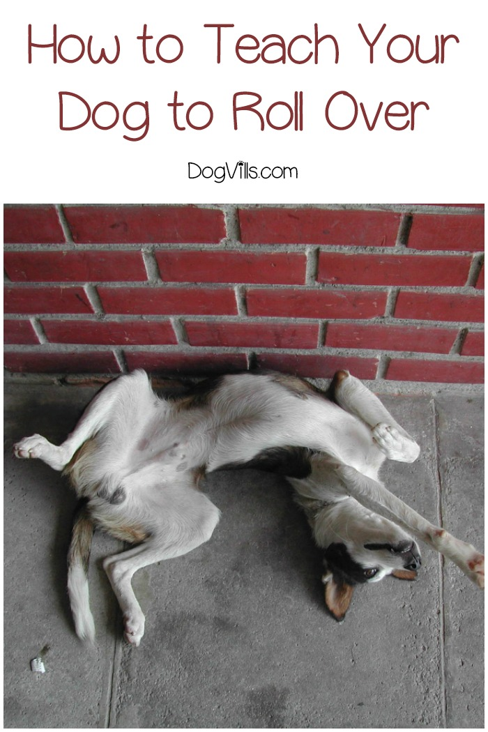 9 Easy Steps To Teach Your Dog To Roll Over