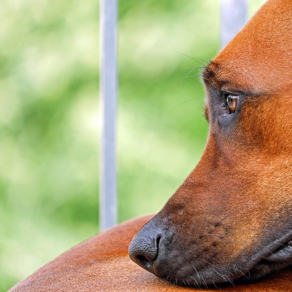 8 Warning Signs That a Dog is Dying fatiguet
