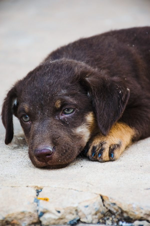 8 Warning Signs That a Dog is Dying lack of interest