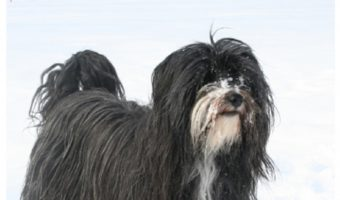 Are Tibetan Terriers hypoallergenic? It's a question you might find yourself asking once you've seen this gorgeous breed! Read on to find out, plus discover all the facts about the Tibetan Terrier!