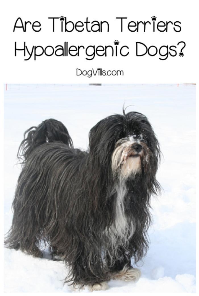 Are Tibetan Terriers Hypoallergenic?