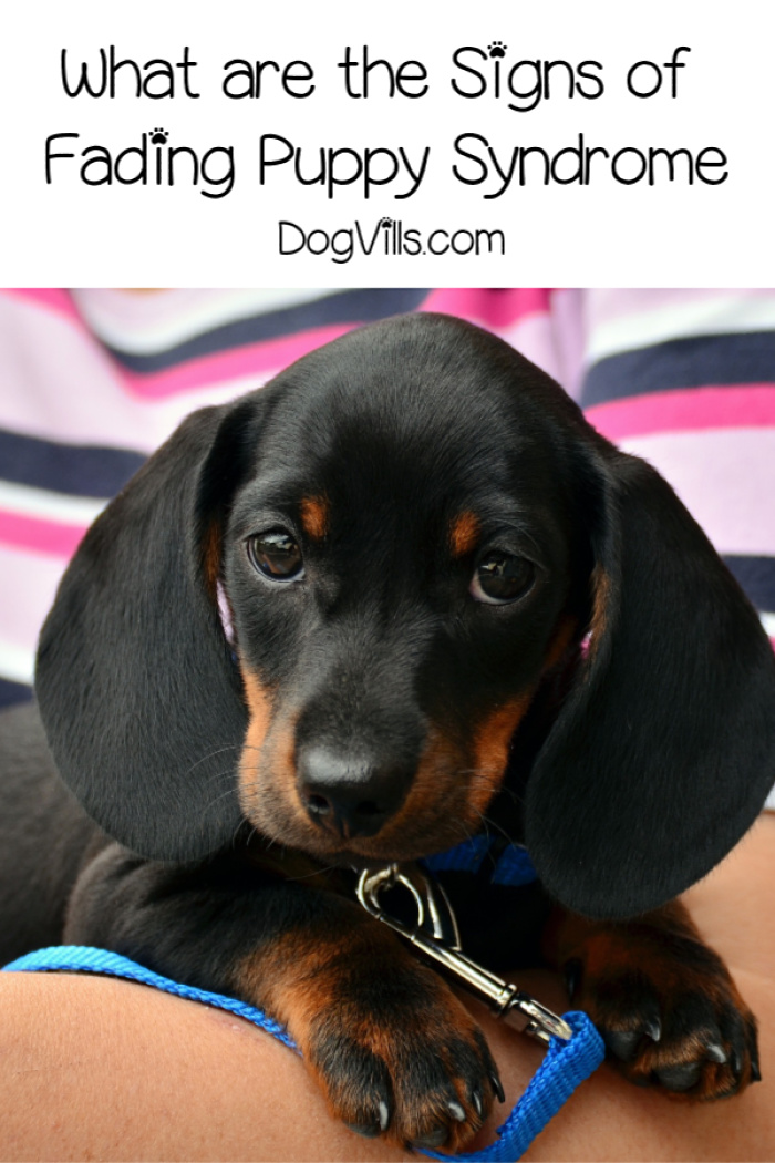 What are the Signs of Fading Puppy Syndrome?