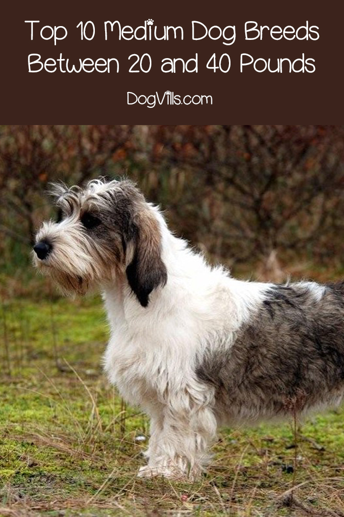Top 10 Medium Dog Breeds Between 20 and 40 Pounds