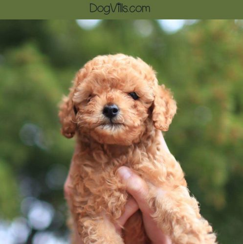 Thinking about adopting a poodle? You need to know about these standard poodle eye problems! The more you know, the better prepared you are to help your dog deal with them.