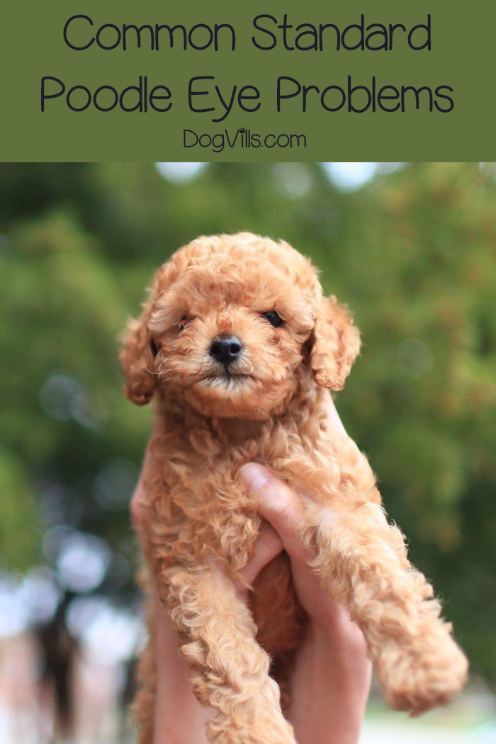 All You Need to Know About Standard Poodle Eye Problems