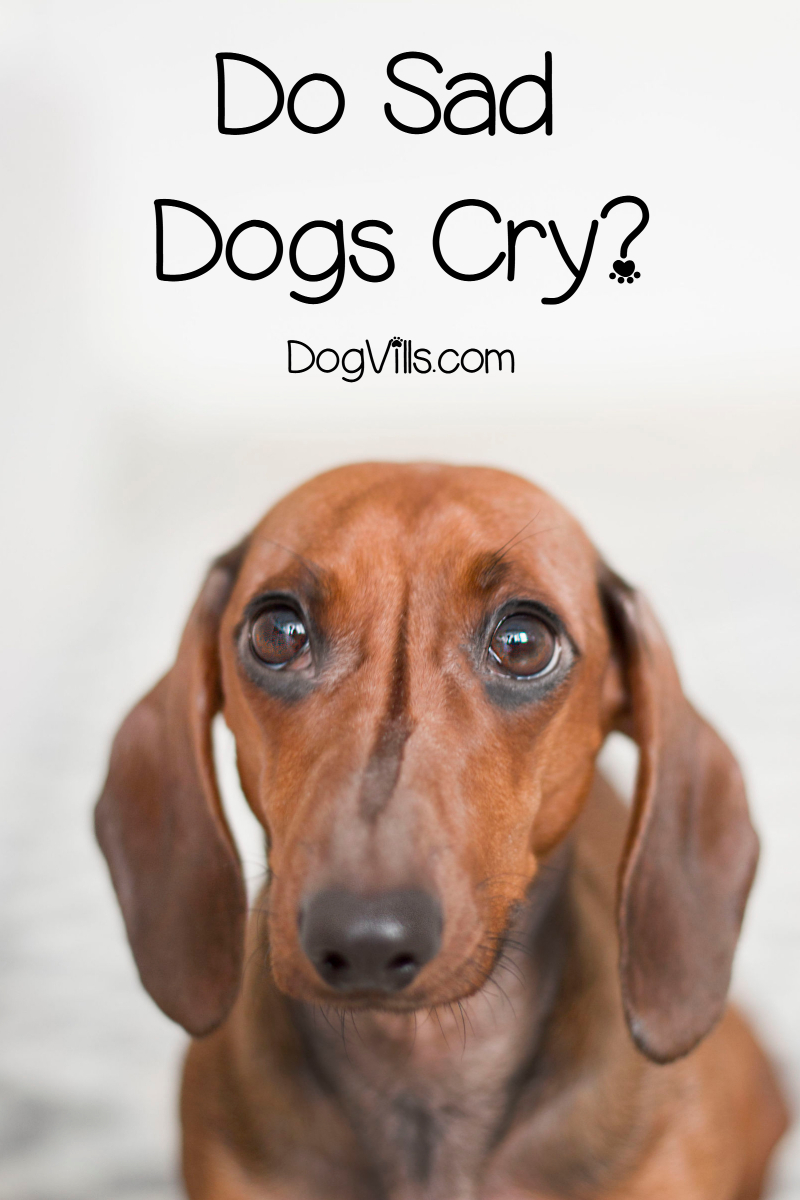 Do Sad Dogs Cry?