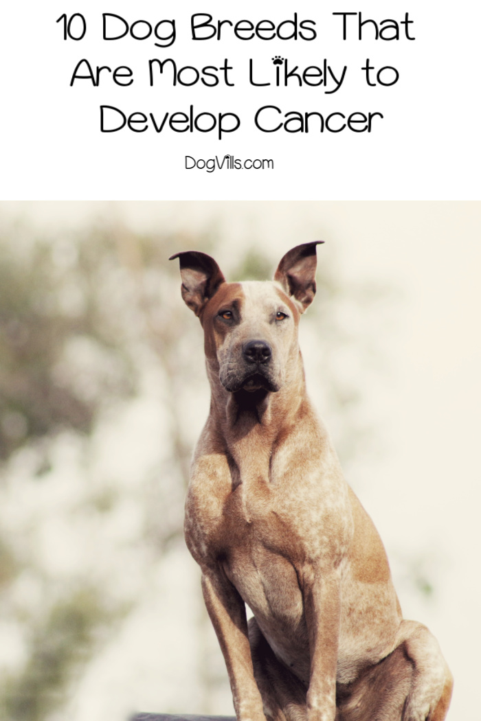 10 Dog Breeds Most Likely to Develop Cancer
