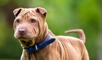 """Say """"hello"""" to the Miniature Shar-Pei - same great dog as the full-size breed, only in """"mini-me"""" format! Read on to learn all about him!"""