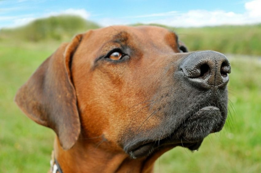 Are Rhodesian Ridgebacks hypoallergenic? Let's find out! Plus, learn everything you need to know about this stunning dog breed!