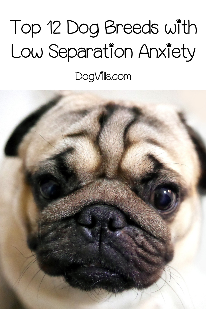 Top 12 Dog Breeds with Low Separation Anxiety