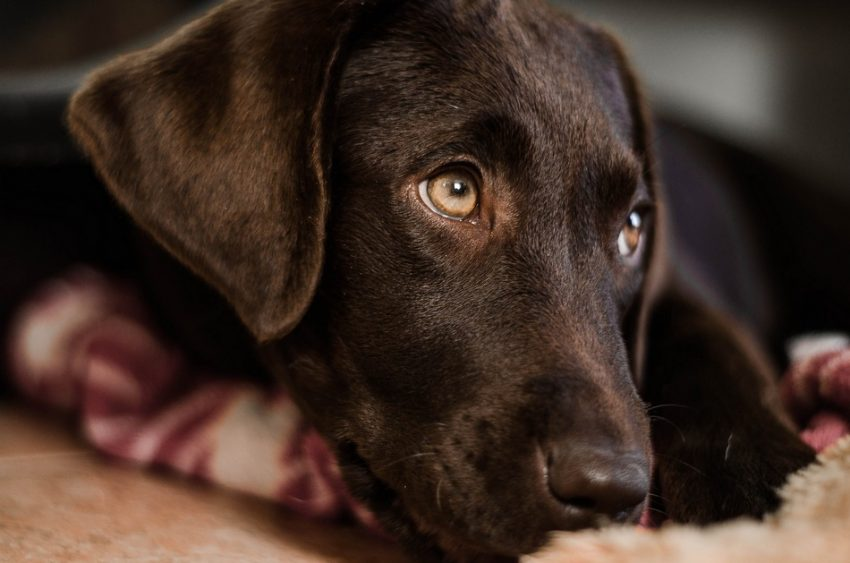 Labs are one of the best dog breeds for first time owners