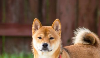 Is Shiba Inu hypoallergenic? Find out if this gorgeous Japanese dog breed is allergy friendly, plus learn everything you need to know about them!