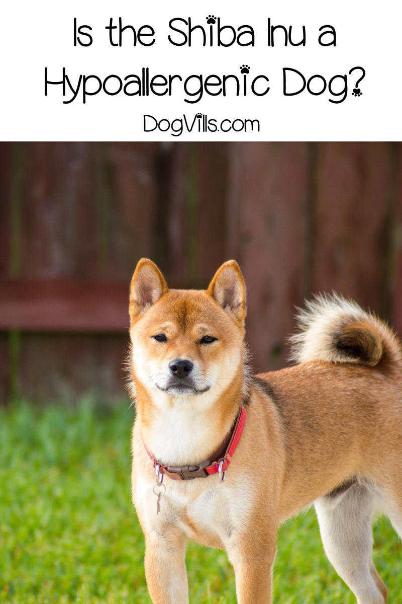 Is the Shiba Inu a Hypoallergenic Dog?