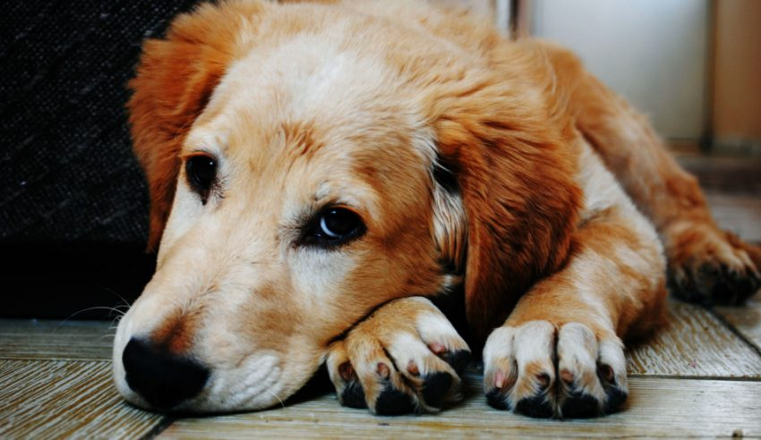 Knowing the signs a dog is dying of cancer can better help you prepare to say goodbye to your beloved canine companion. Read on for what to look for.