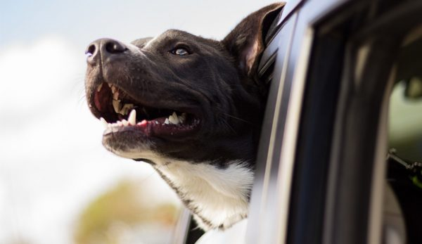 Car anxiety in dogs is a common problem among owners. The good news is, with training and patience, it can be managed or even eliminated! Read on to learn more.