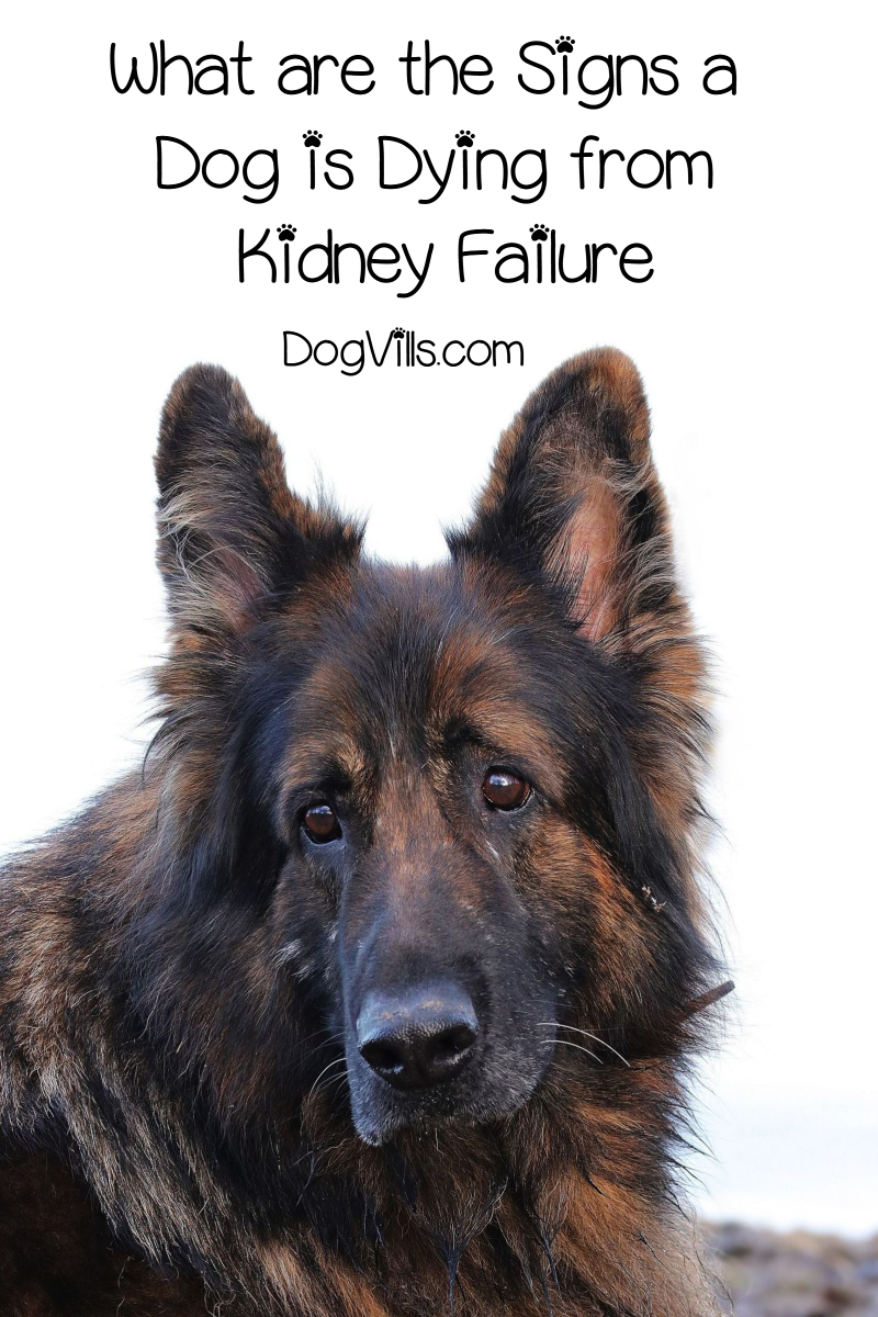 What are the Signs a Dog is Dying from Kidney Failure