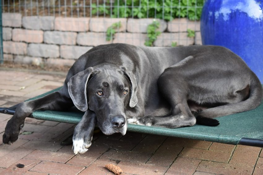 What is the best dog bed for a Great Dane? Here's a hint: it's not just the biggest one! Check out 5 fantastic choices, plus tips on how to choose!