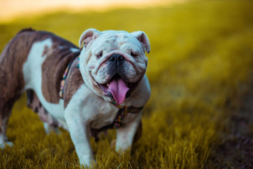 best dog breeds for anxiety