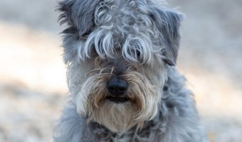 Considering a Schnoodle, but you're not sure if it's the right dog for you? Discover everything you need to know about these beautiful mixed breed dogs!