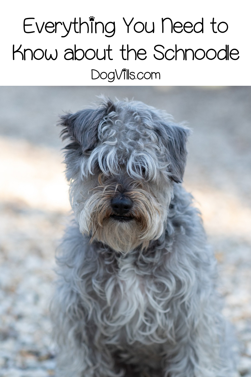 Everything You Need to Know About Schnoodles Before Adopting One