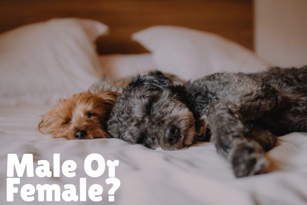 How to choose a second dog male or female