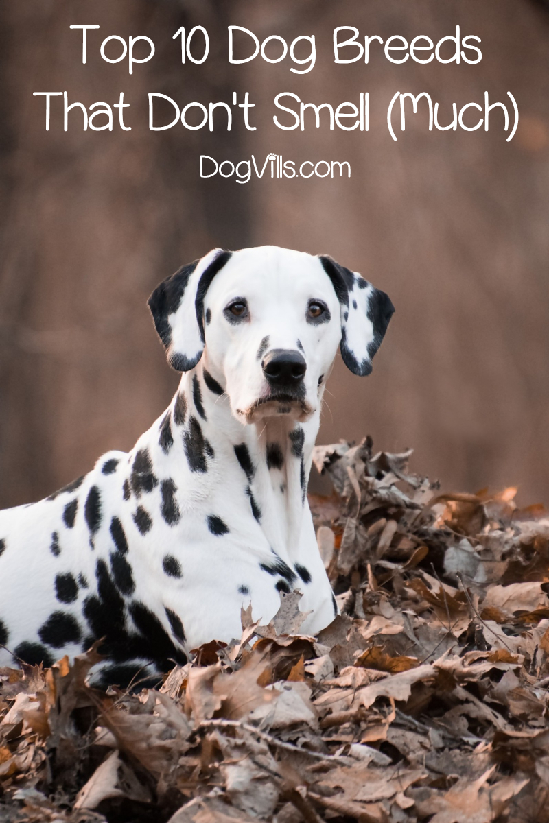 Top 10 Dog Breeds That Don't Smell (Much)