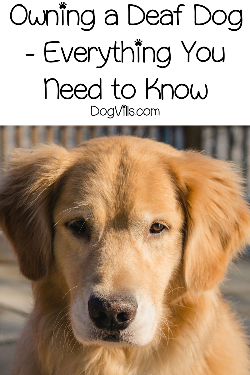 Owning a Deaf Dog – Everything You Need to Know
