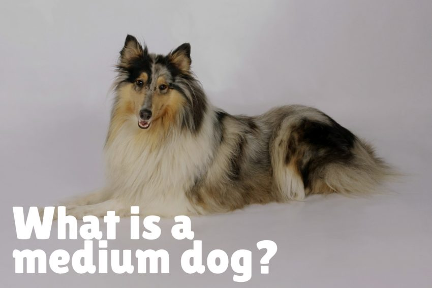 what is a medium dog