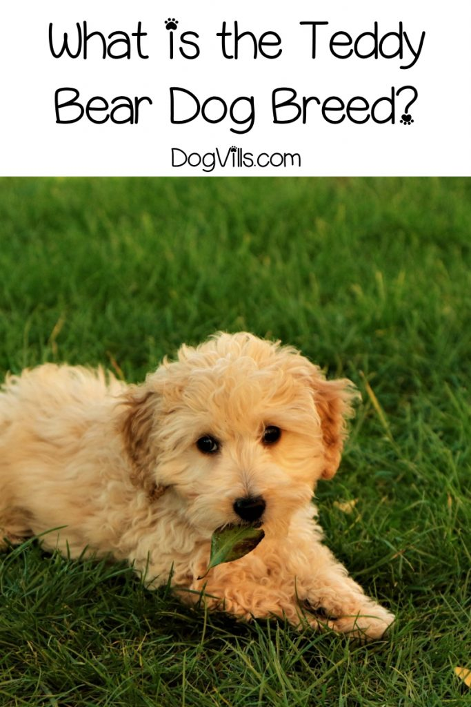 Have you heard of the Teddy Bear dog breed and wondered exactly what he is? Read on to learn all about this designer hybrid breed!