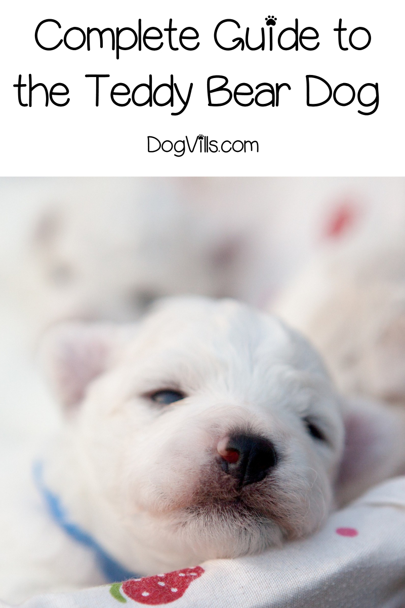 Complete Guide to the Teddy Bear Dog Breed