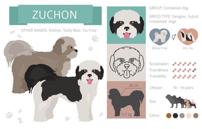 Teddy Bear Dog Breed Info