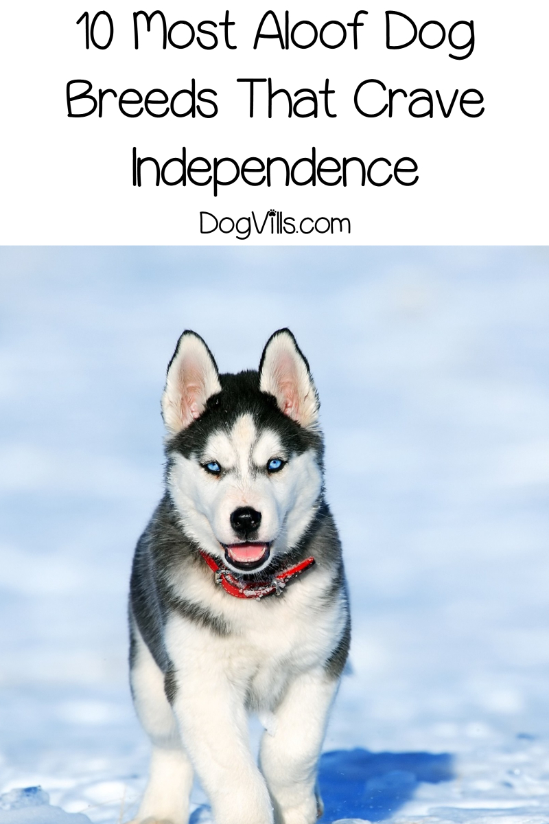 10 Most Aloof Dog Breeds That Crave Independence