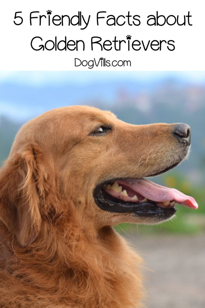 Pin On Health: 5 Friendly Facts About Golden Retrievers