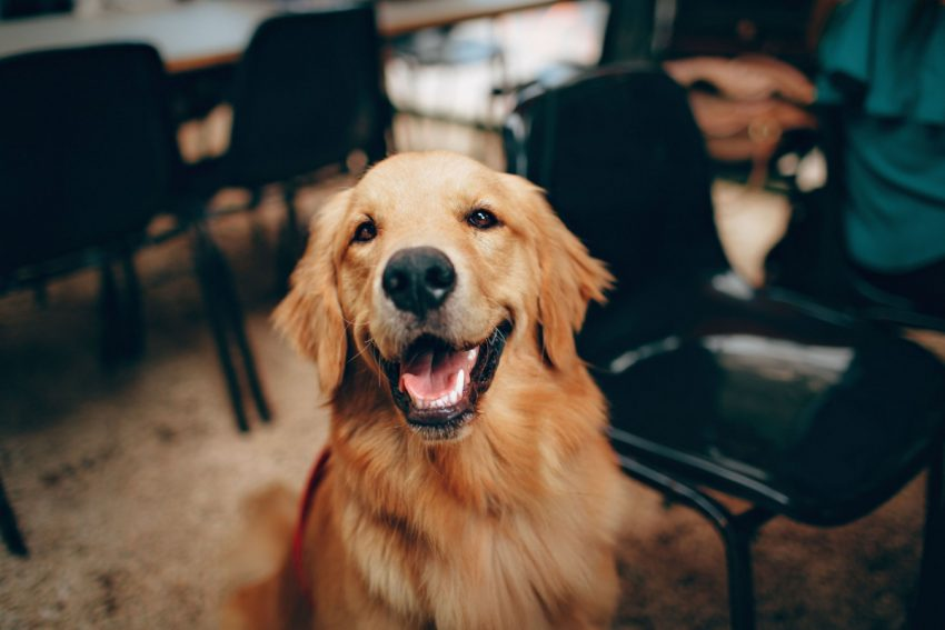 Golden Retriever is one of the least stubborn dog breeds.