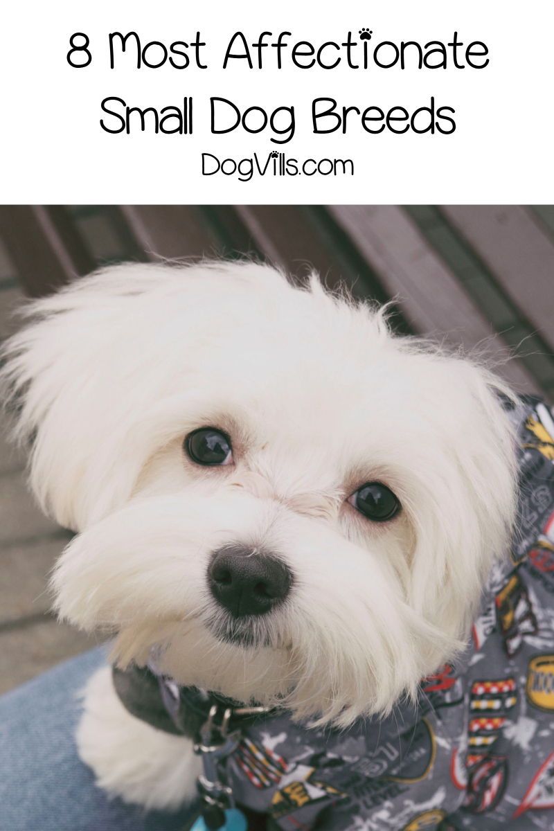 Top 8 Most Affectionate Small Dog Breeds