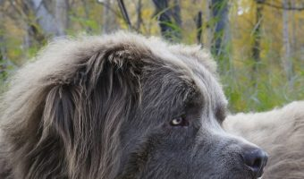 Are you in love with gentle giants as much as we are? Then you'll adore our list of the top 9 best giant dog breeds! Check it out!