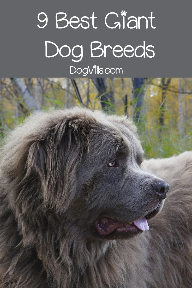 Top 9 Best Giant Dog Breeds