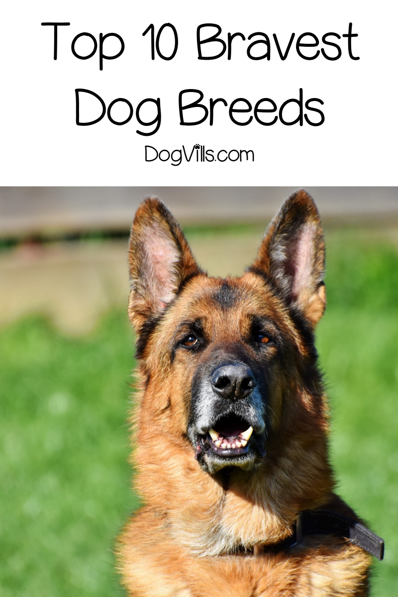 Top 10 Bravest Dog Breeds