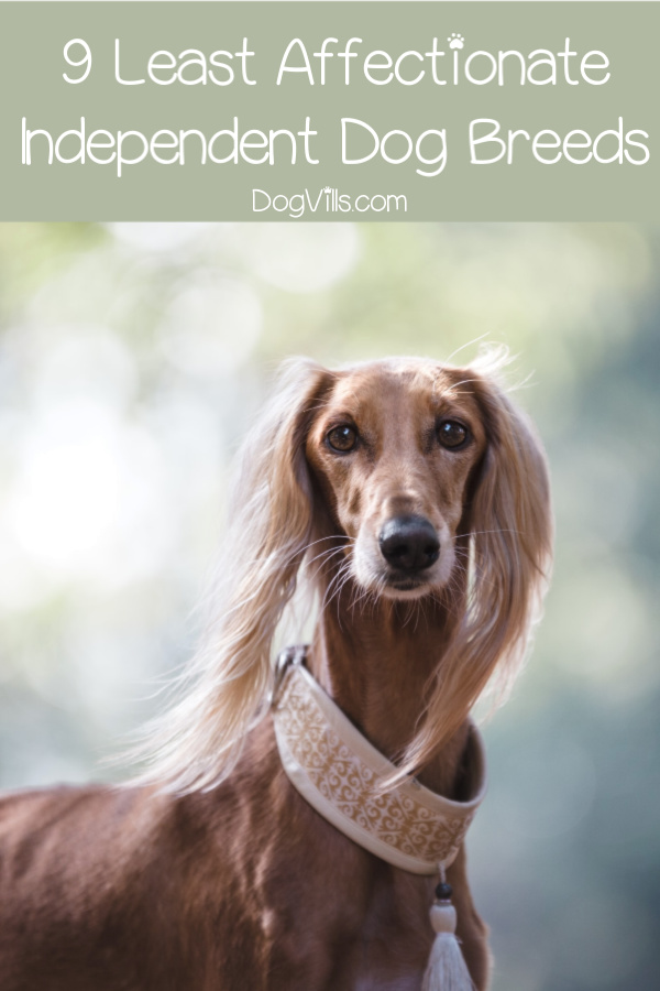 9 Least Affectionate Dog Breeds - DogVills