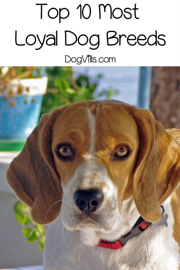 Wondering which pups make the most loyal dog breeds? Check out these ten loyal dogs that will never want to leave your side!